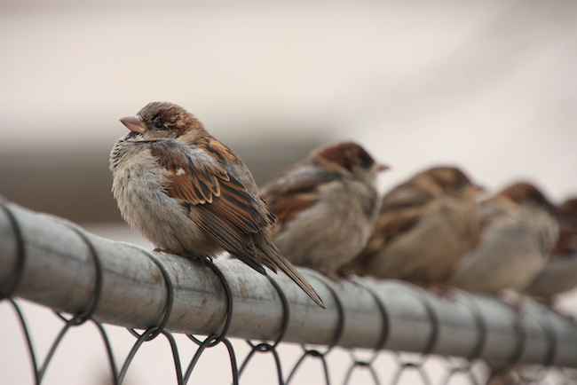 Image of four birds on a fence