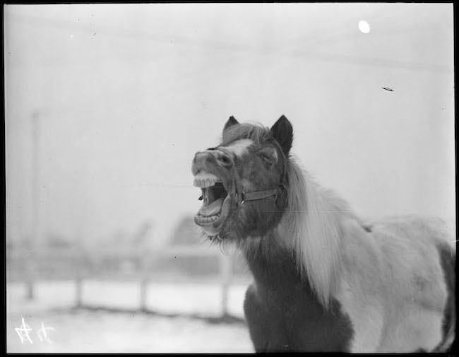 Close-up image of a horse with its mouth wipe open, appearing to scream