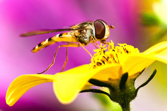 wasp eating nectar from yellow flower
