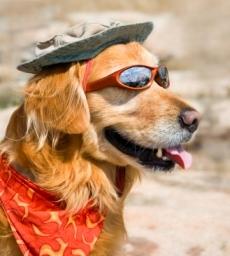 image of golden retriever in sunglasses
