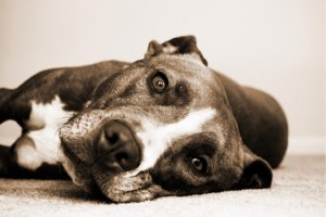 image of staffordshire terrier