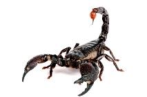 image of scorpion